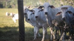 تقنية ضوئية جديدة لمعالجة روث الأبقار والحفاظ على بيئة نقية